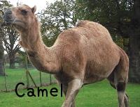 camelラクダ