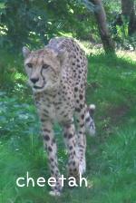 cheetah チーター