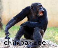 chimpanzeeチンパンジー