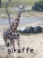 giraffeキリン
