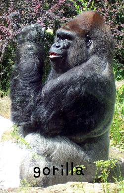 gorillaゴリラ