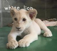 lionライオン
