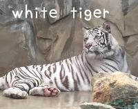 tigerトラ