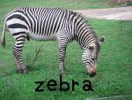 zebraシマウマ